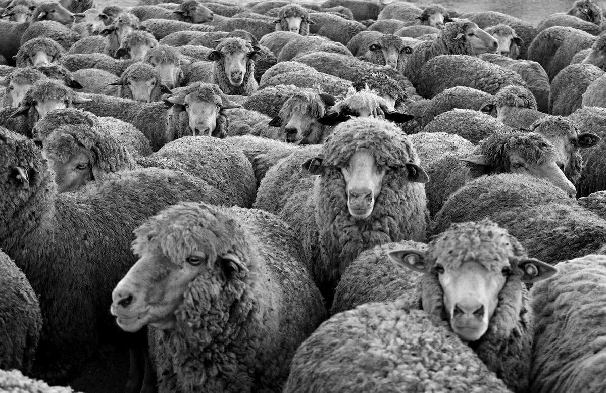 Много овечек картинка, картинка улыбайся выздоравливай