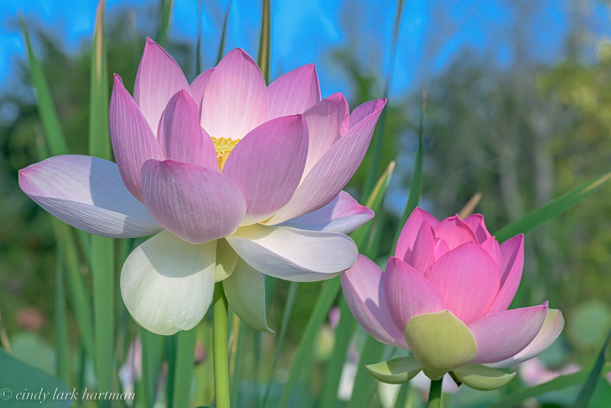 Картинки цветами лотос