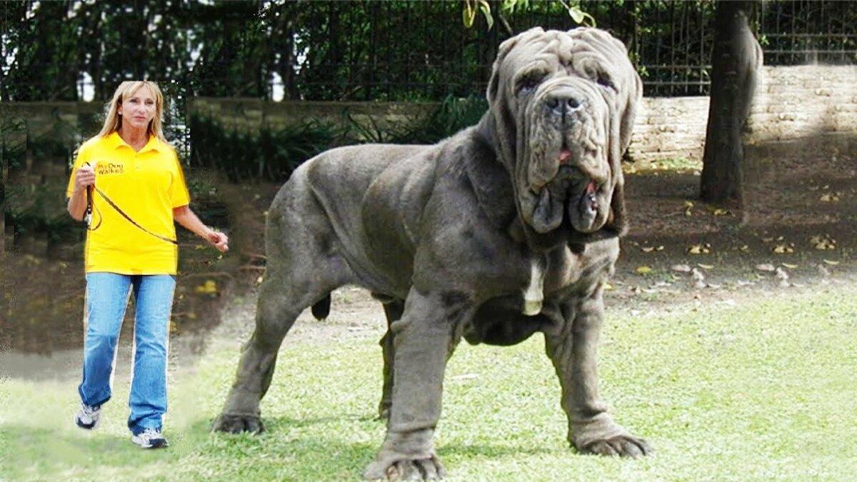 картинки самых больших собак на планете