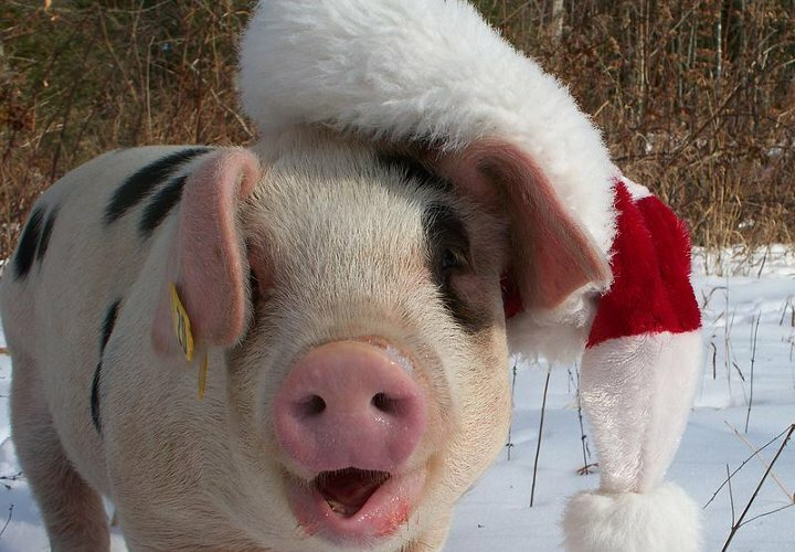 одна, ржачные картинки год свиньи вас