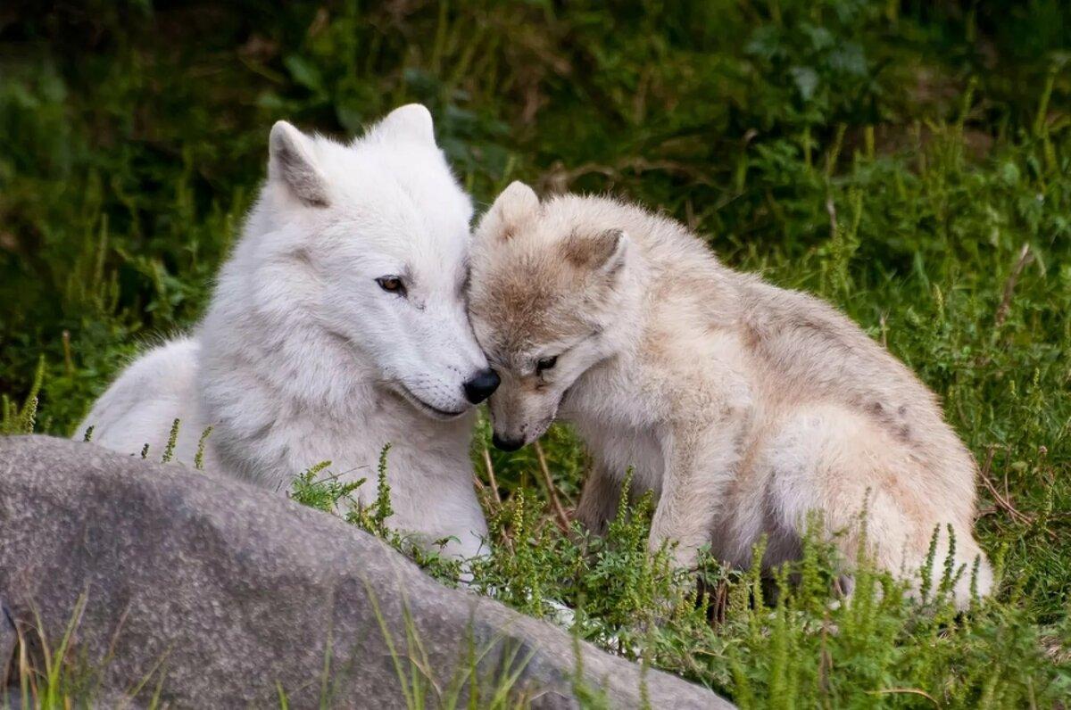 Картинка с волчатами