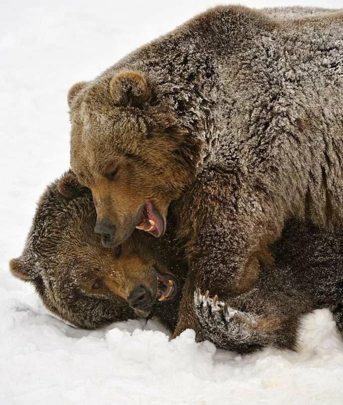 Картинки с медведями любовью