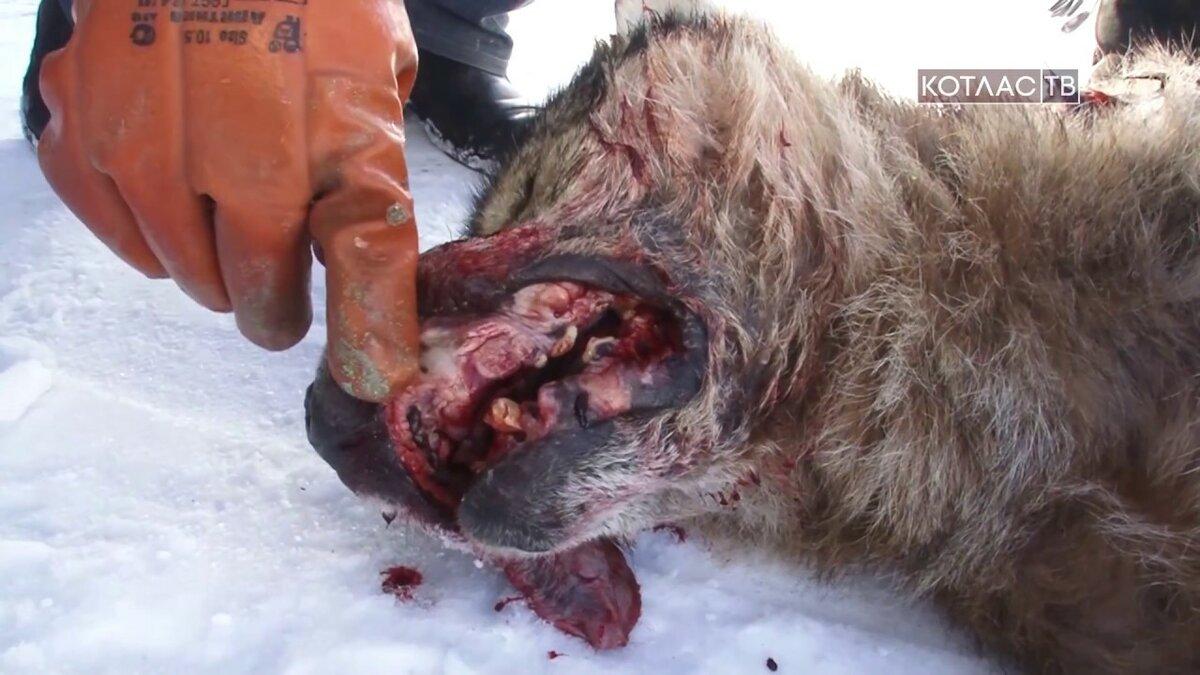 Фото алабая и волка в ростовской