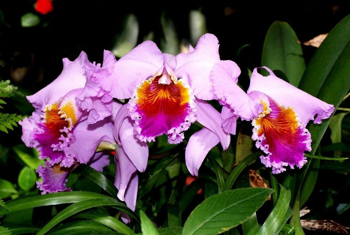 Орхидеи сорта с фото и названиями