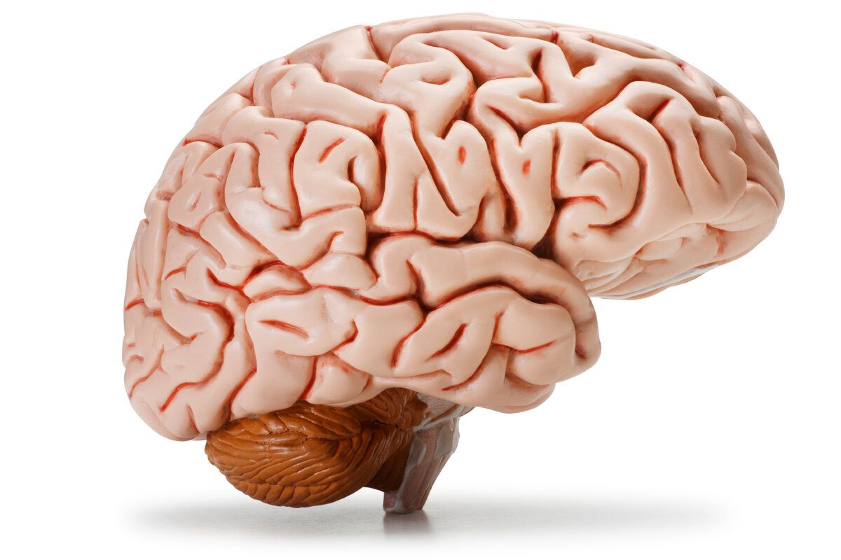 Головной мозг человека картинки для детей