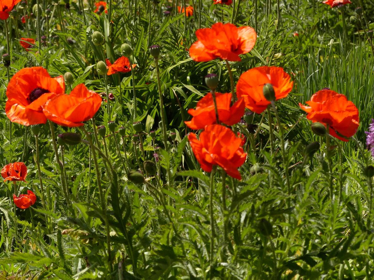 рецептов картинки цветка мак садовый кокарды металлические