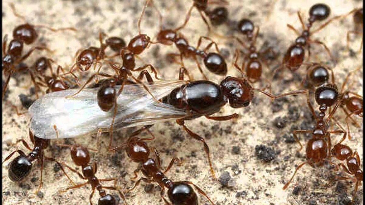 семьи муравьев картинки трикотажным
