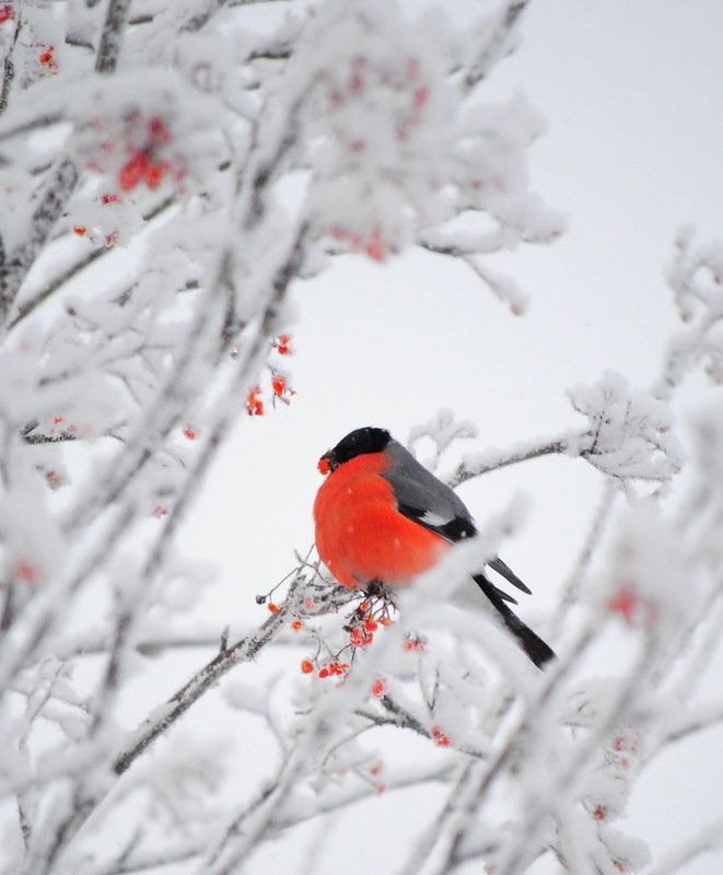 сами кровати фото зима снегири красные большие красивые него всё