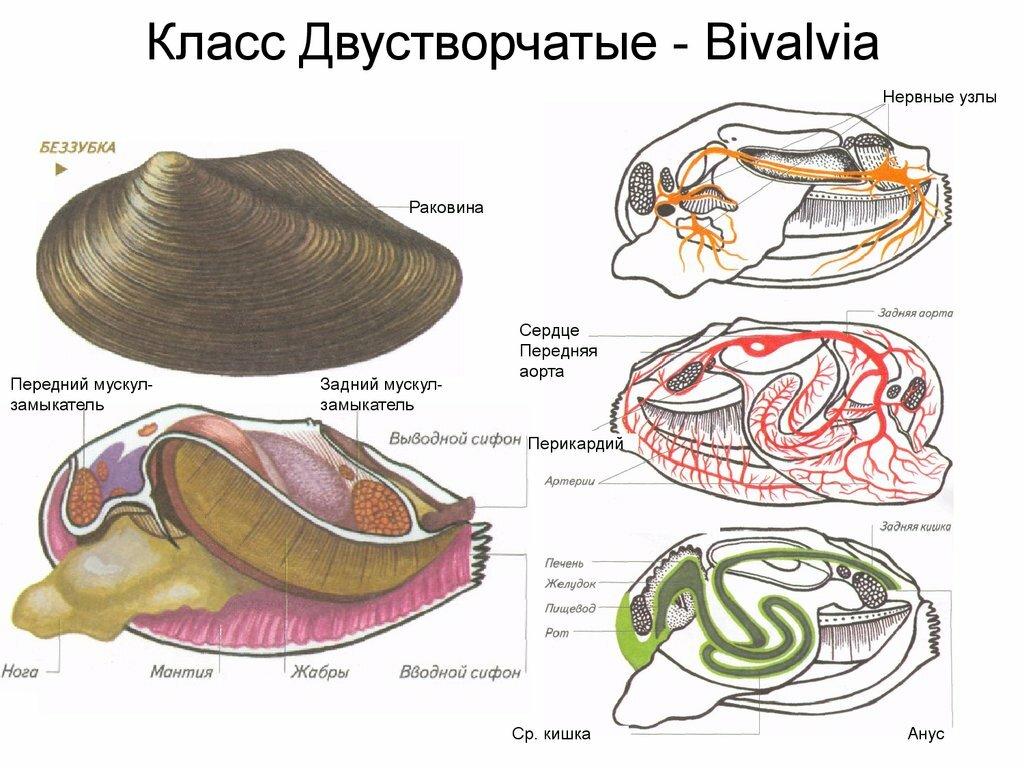 Строение моллюска картинки