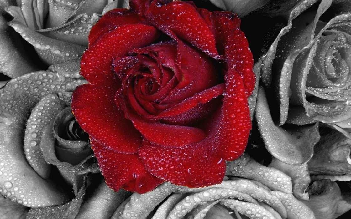 Картинки на телефон роза с надписью, опт открытки