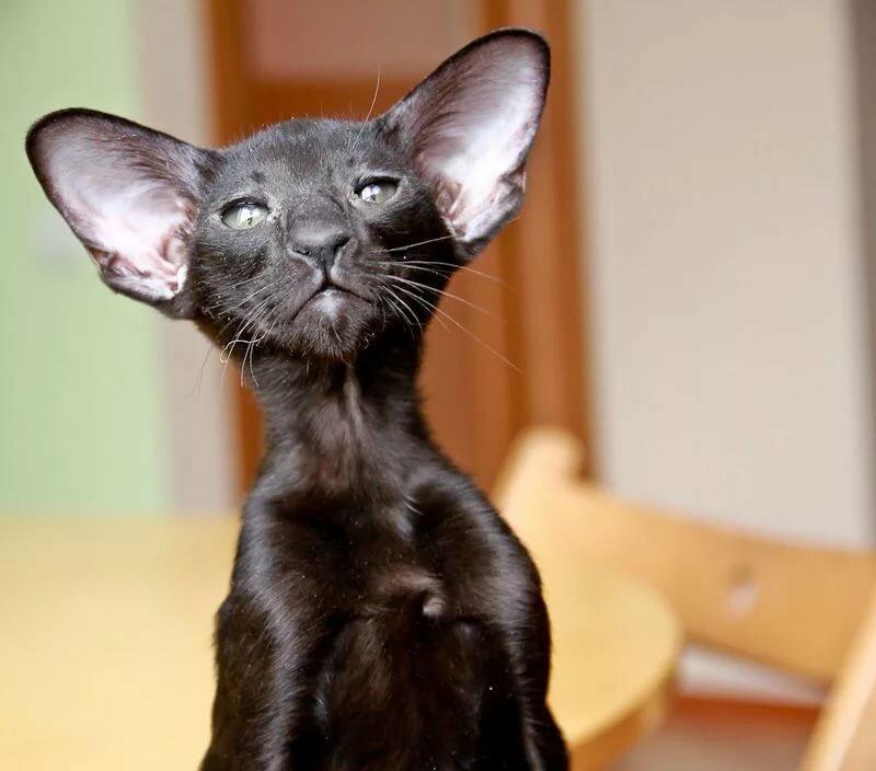 Картинки кошек ориенталы