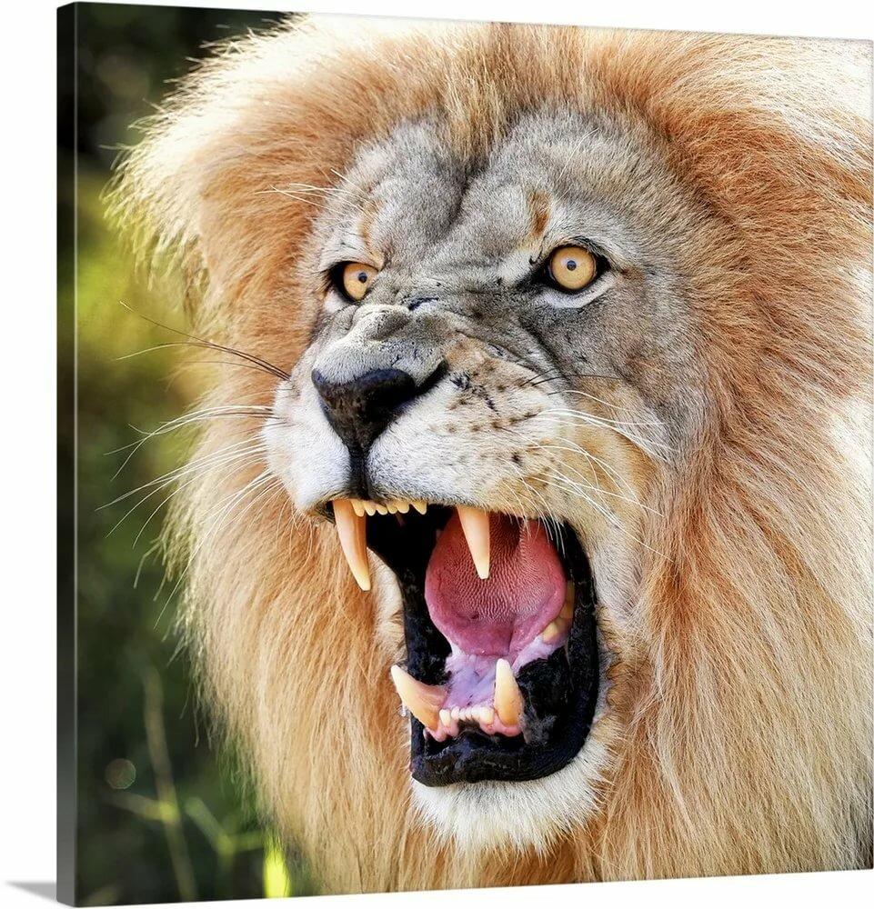Рычащий лев картинка