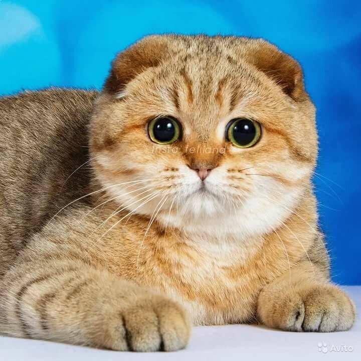картинки кошек шотланские будет
