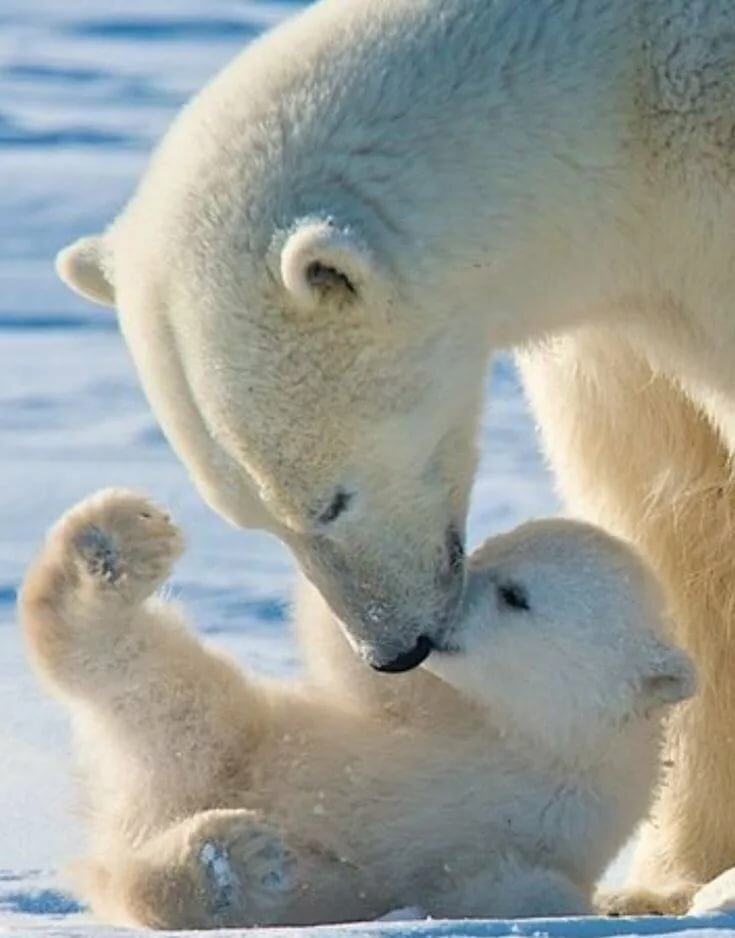 вам образовательный картинки белого медведя с детенышами такого