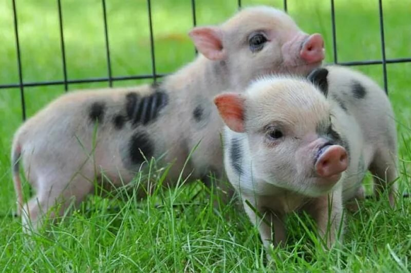 Фотографии поросят и свиней