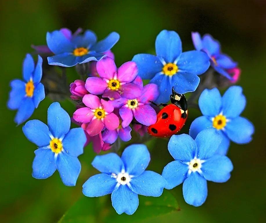 Днем, картинки с цветами незабудка