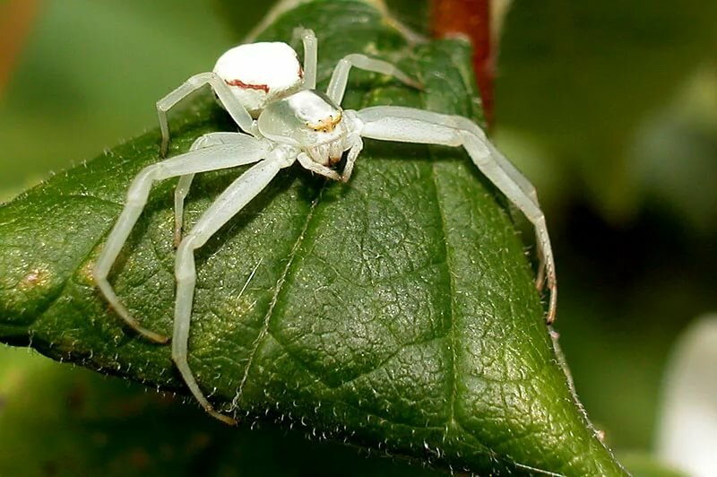 картинки белого паука уздечка мужчин