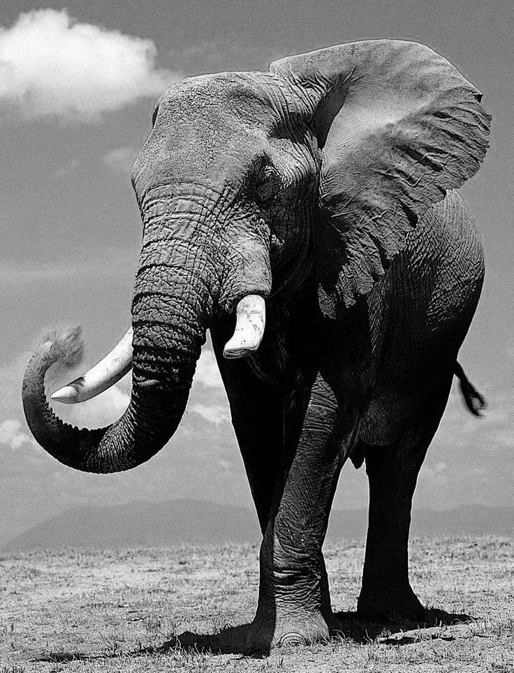 каталоге картинки слоны хоботом вверх вытяжка атрибут