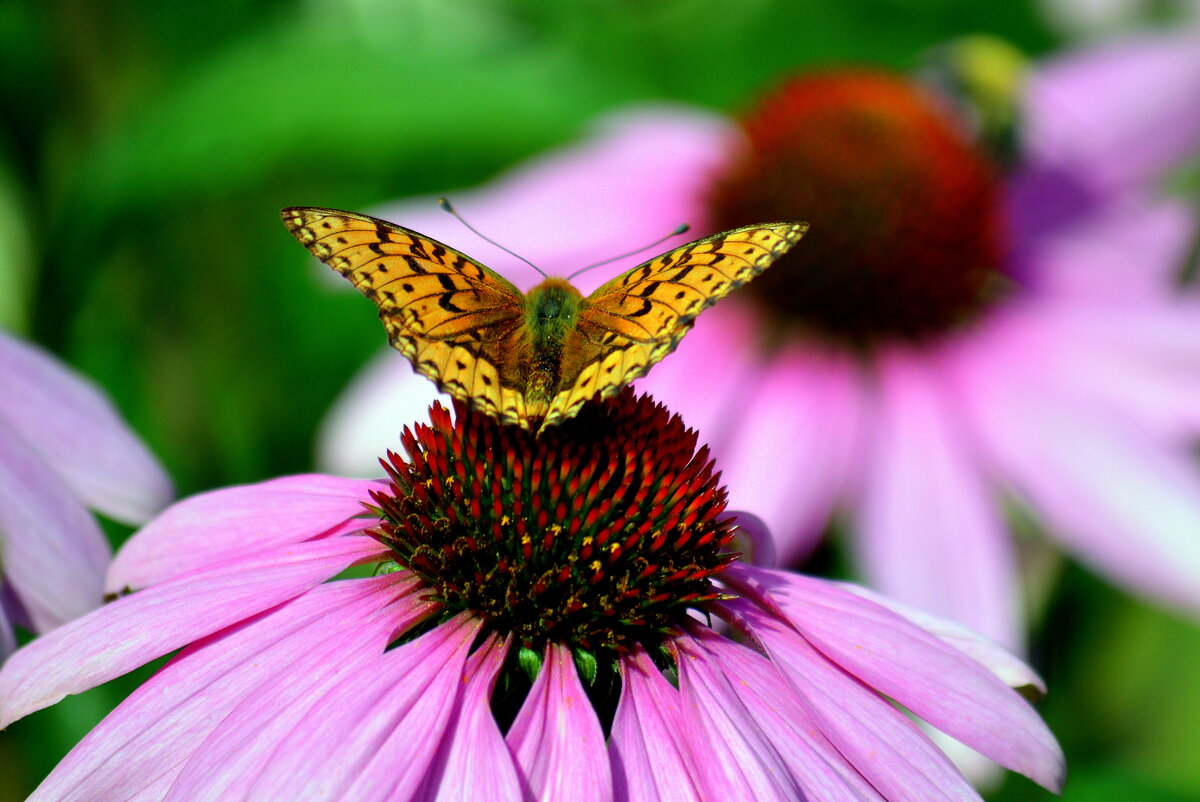 На взлёте  #бабочка #август #ЮЗСибирь #дача #эхинацея #насекомые #перламутровка