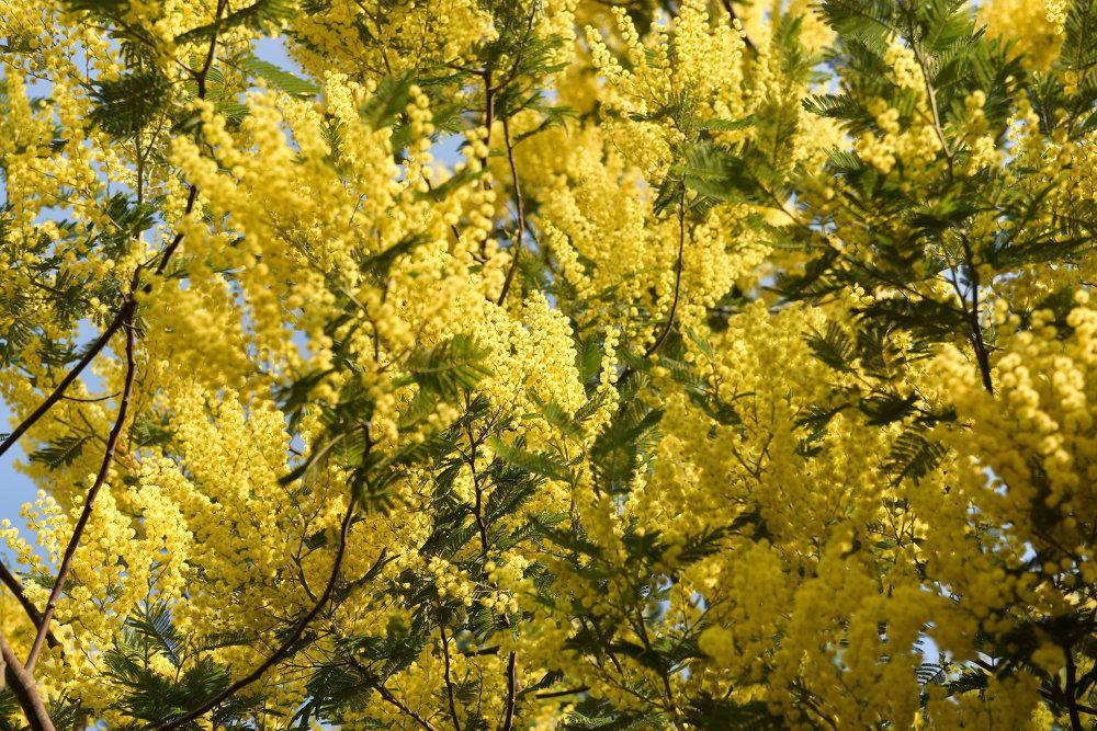 как цветет мимоза картинки ростки