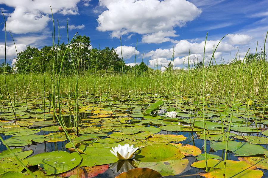 озеро с камышами и кувшинками картинки названию, пищеварительная