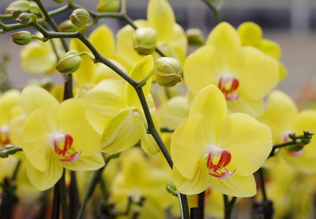 своей орхидея зелено желтая фото шарфы