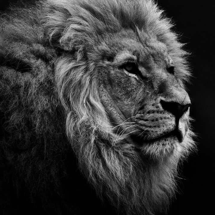 Открытка с изображением льва