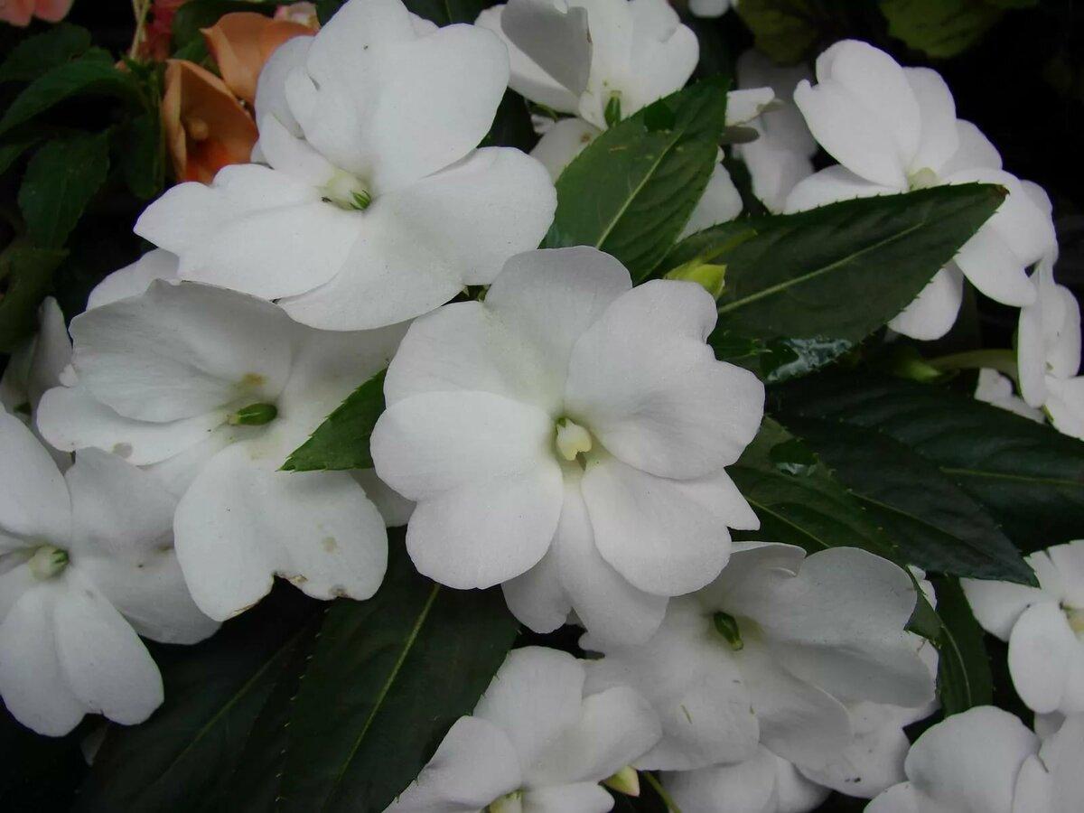 Комнатный цветок с белыми цветами фото