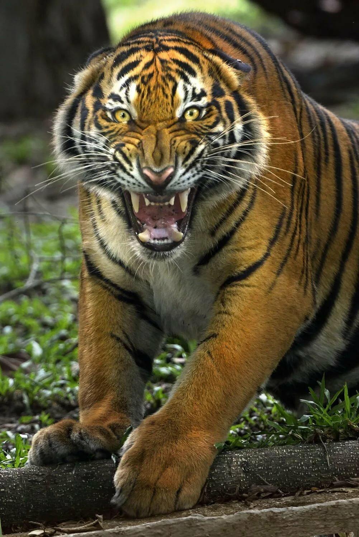 Картинки смотреть тигры