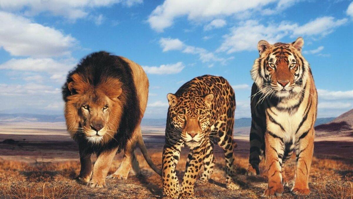 Поздравления, тигры и львы картинки