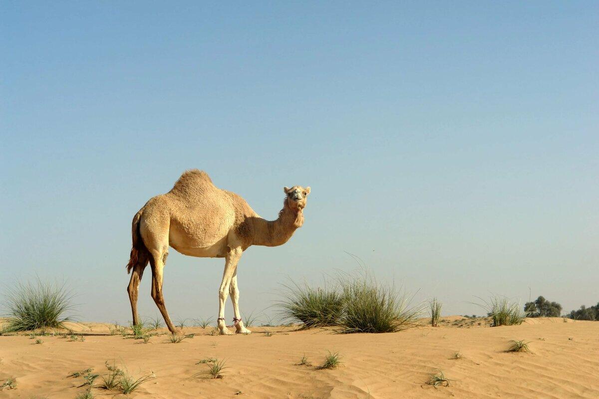 Картинки одногорбого верблюда