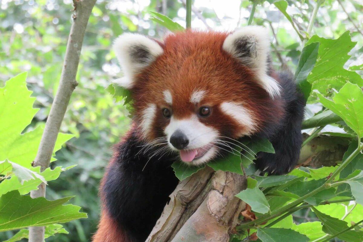картинки красные панды
