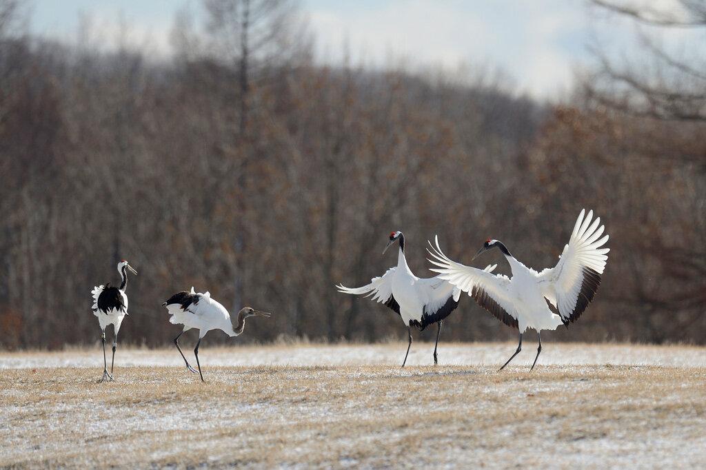 валютного танцующие птицы фото свой дух сердце