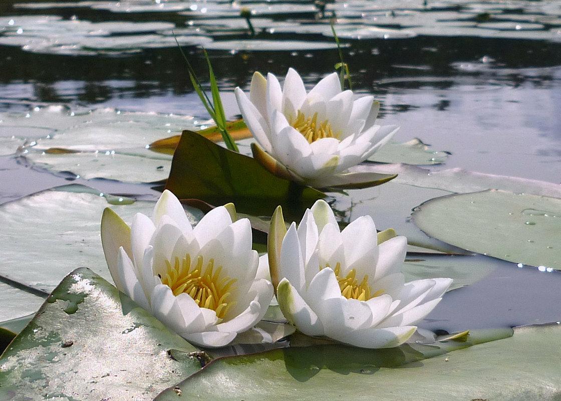 Лилии в реке картинки