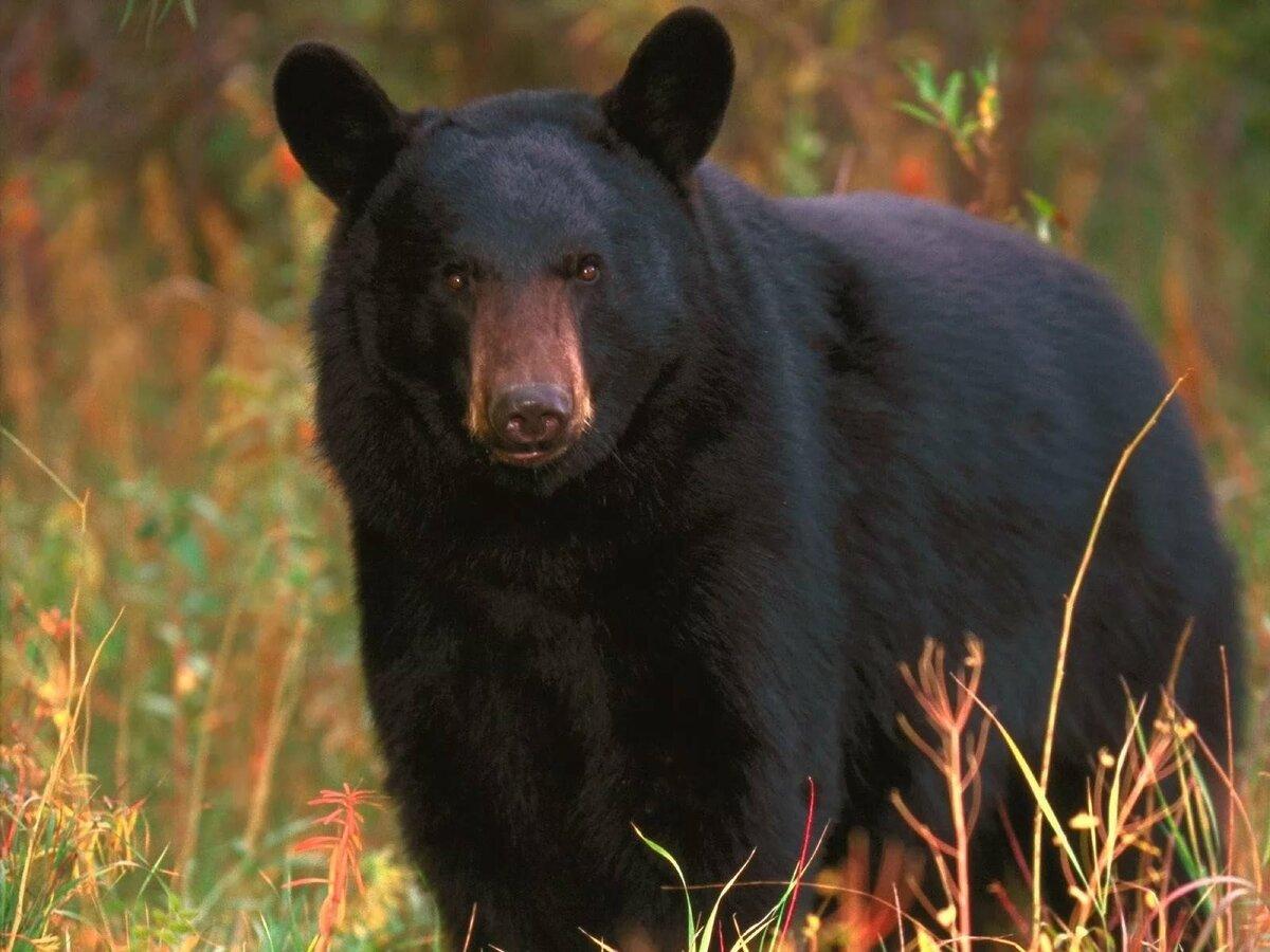 животные северной америки фото с названиями модели