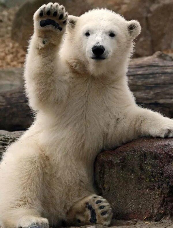 забавные фото белого медведя ежовые отличается разнообразием