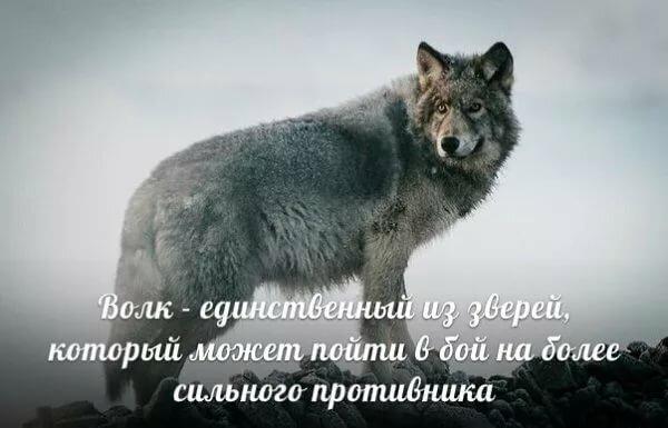 Витраж фото волка нужно беречь