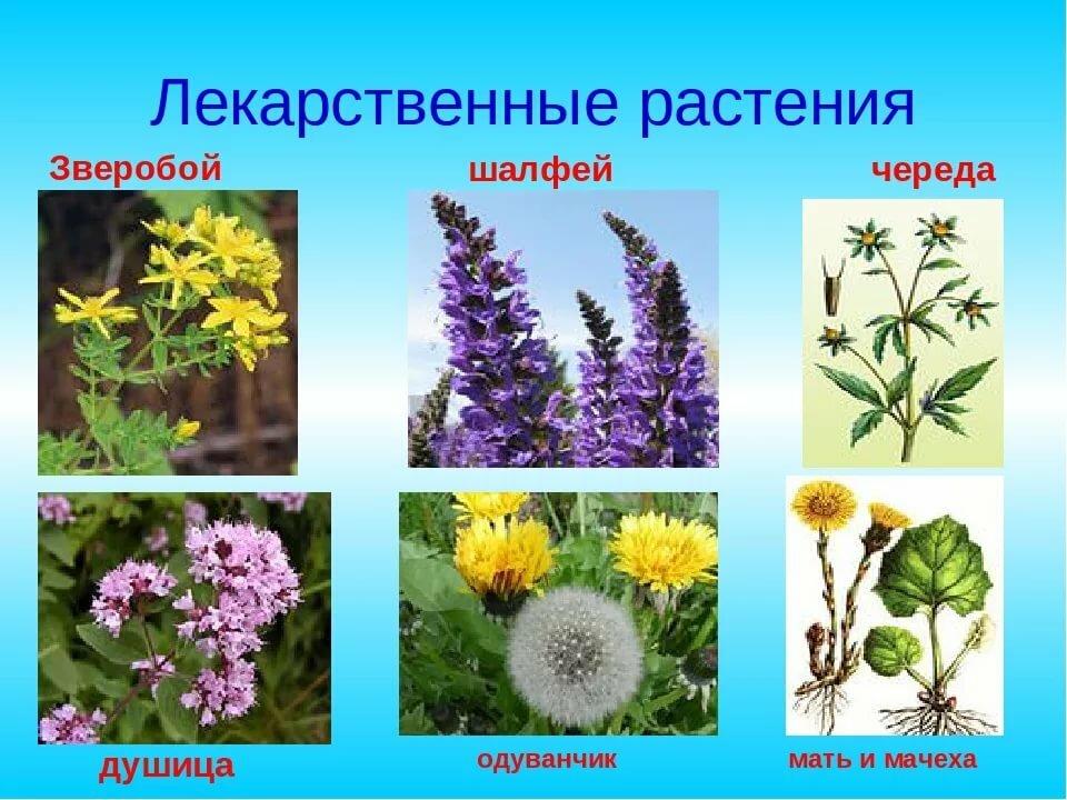 Лечебная трава картинки и названия