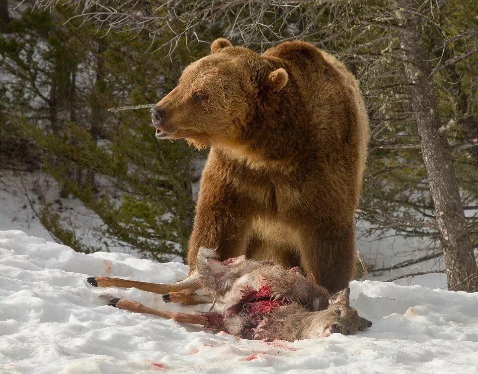 Медведь против волка картинка