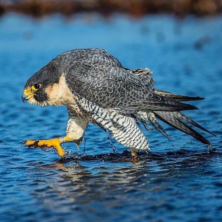 Сапсан скорость птицы
