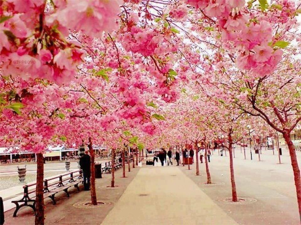 Пожеланием привет, картинки цветущие сады сакура