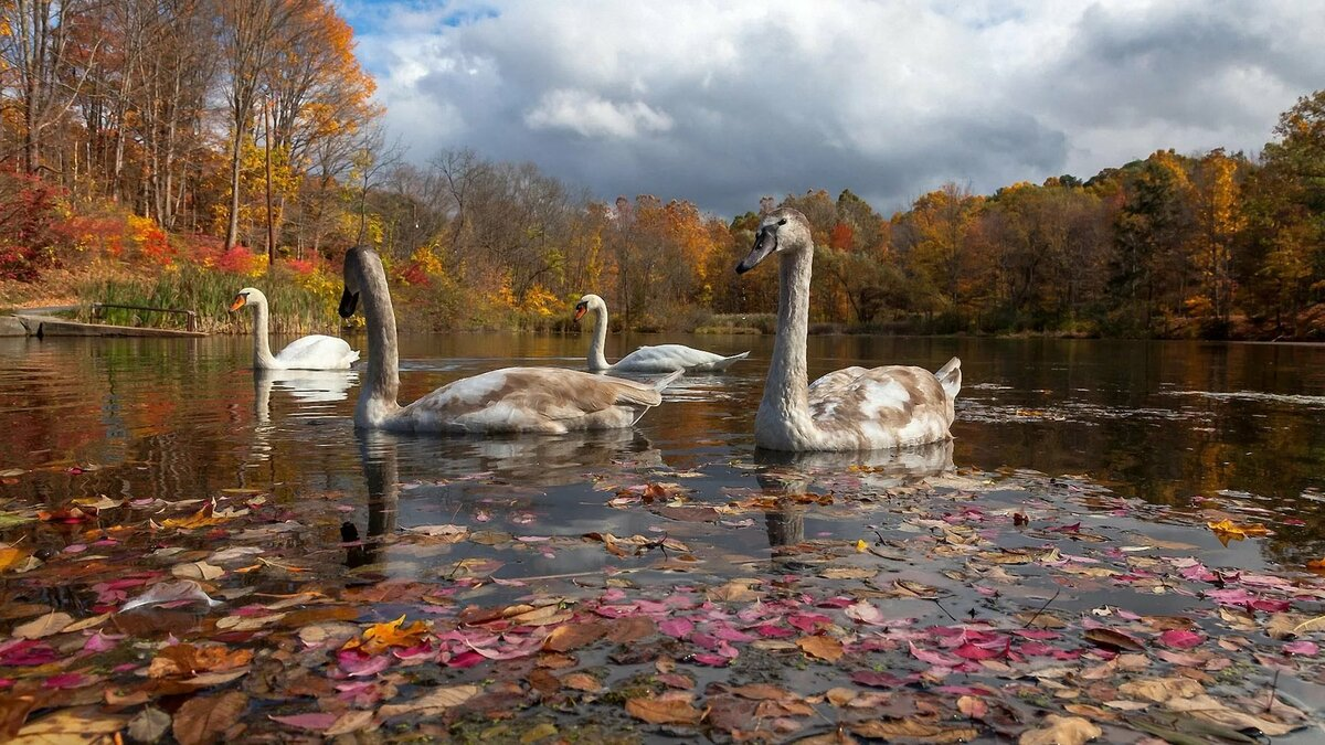 должен фото осень лебеди без