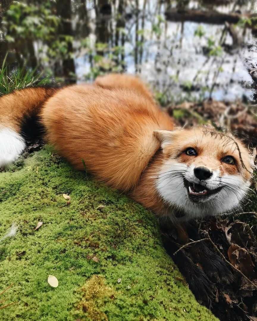 Смешные картинки лисичка