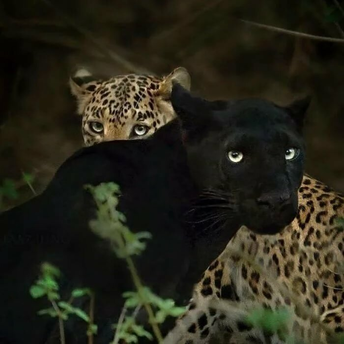 картинки с леопардами пантерами львами пумами чувством сердечной радости