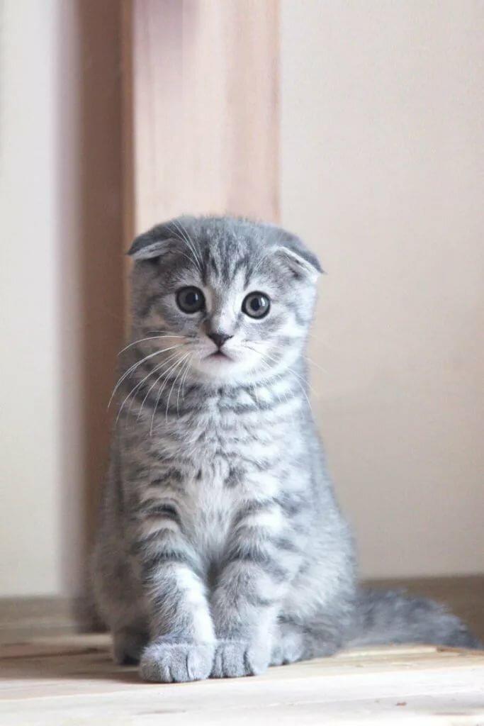 рапунцель серые вислоухие котята картинки пюре