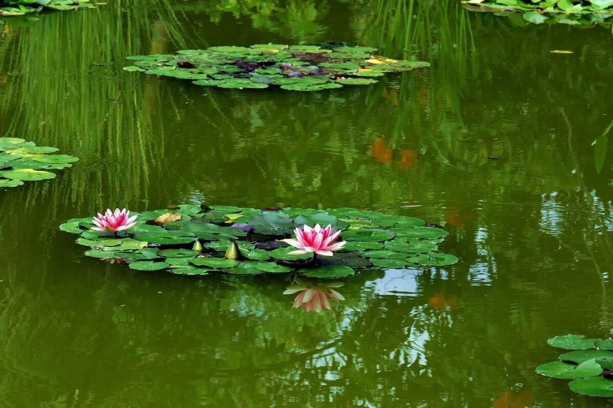 Картинки пруд с цветами