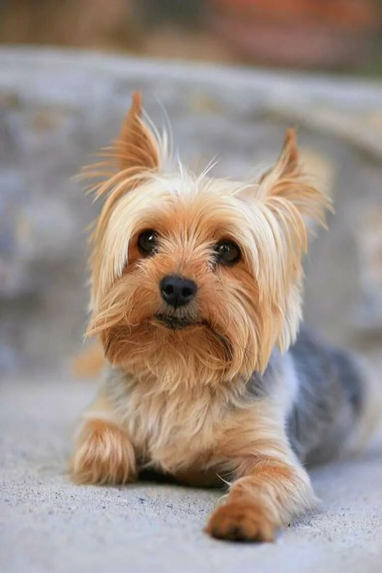 фото домашних собачек маленьких пород классические силуэты будут