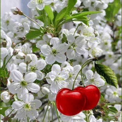 расцветают вишни анимация картинки была