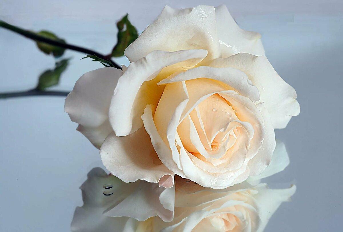 Картинки одна большая роза