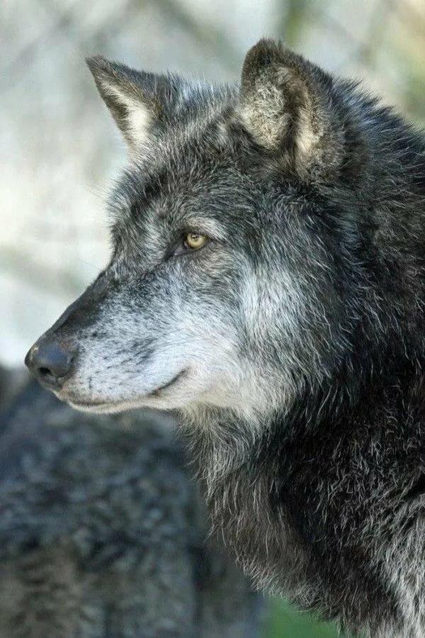 Картинка грозный волк